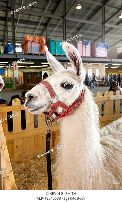 A llama (Lama glama) standing inside in a pen gives the camera a look at the Alaska State Fair, South-central Alaska; Palmer, Alaska, United States of America
