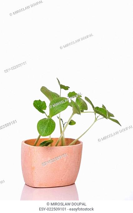 Pumpkin sprouts in a pot