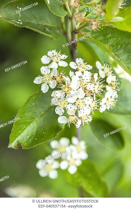 Aronia in full bloom and almost already faded