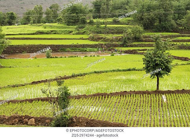 View of rice farms near Bhambatmal dam, Pune, Maharashtra
