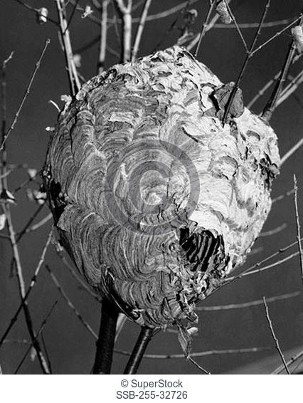 Close-up of a Hornet's nest on a bare tree