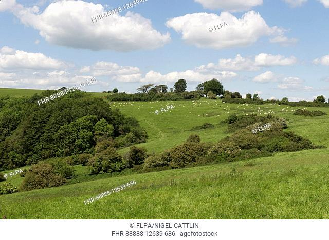 View of sheep, meadows, scrub for game, farmland and woodland at top of hill, highest point in West Berkshire on fine summer day, Walbury Hill, Berkshire