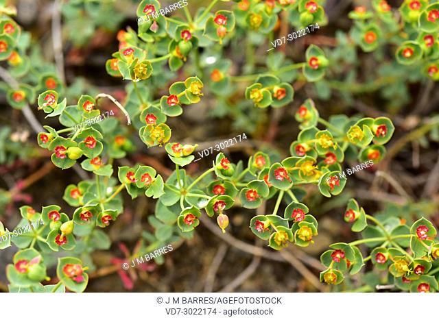 Euphorbia minuta is a prostrate shrub endemic to Iberian Peninsula. This photo was taken in La Rioja, Spain