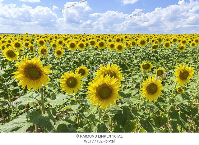 Blooming sunflower field in summer, Sternberg, Grabfeld, Bavaria, Germany
