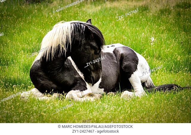 Wild horse in a field in Spain