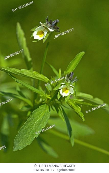 cultivated pansy, field pansy, small wild pansy (Viola arvensis), blooming, Germany