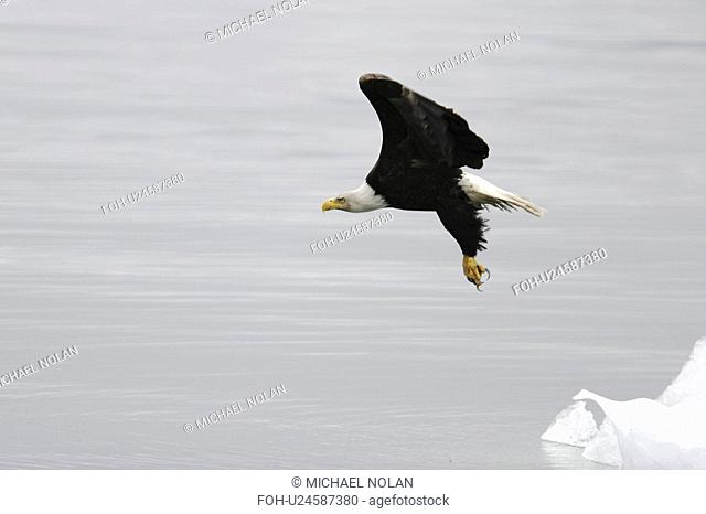 American Bald Eagle Haliaeetus leucocephalus taking flight from a calved iceberg from the Le Conte glacier just outside Petersburg in Southeast Alaska, USA