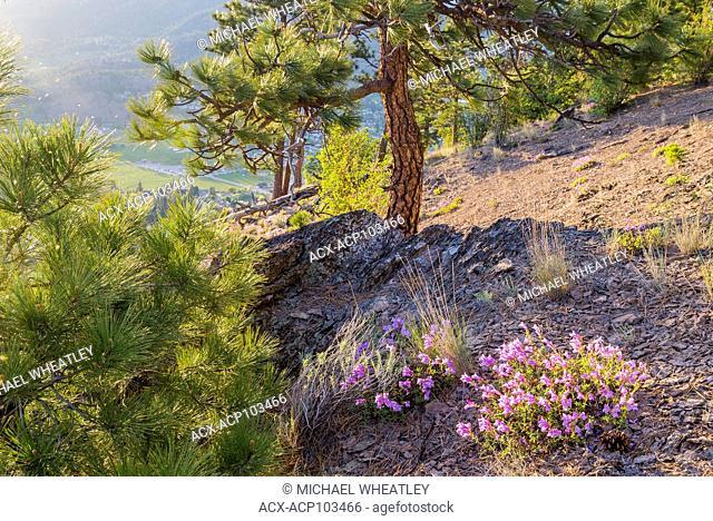 Pine trees and penstemon flowers, Giants Head Mountain Park, Summerland, Okanagan Valley, British Columbia, Canada