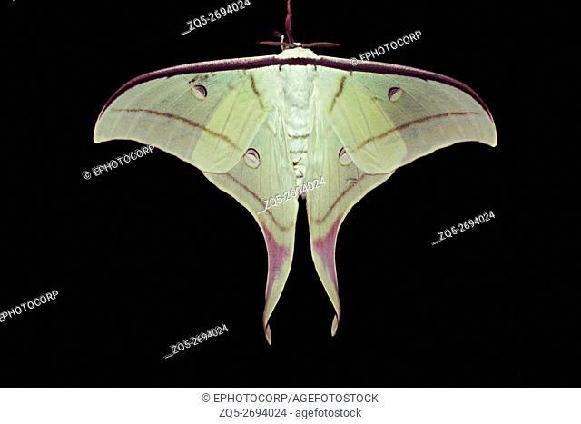 Moon Moth photographed at Amboli