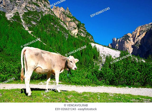 Cow on mountain meadow in Fanes Nature Park, Dolomites - Italy