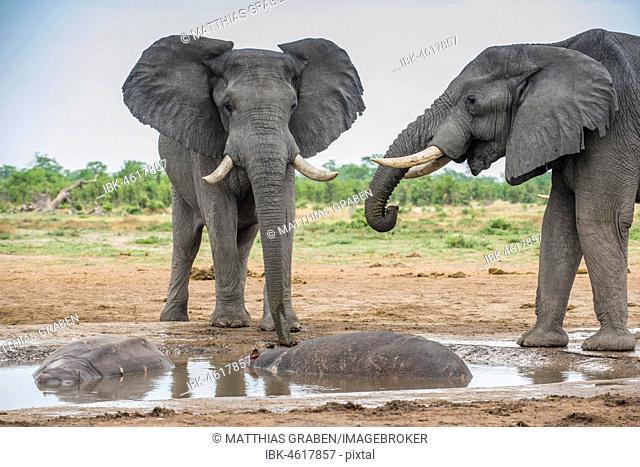 African elephants (Loxodonta africana) drinking at a waterhole with two Hippopotamuss (Hippopotamus amphibius), Marabou Pan, Savuti, Chobe National Park