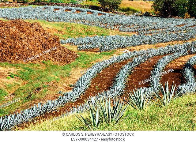 Tequila Agave (Agave tequilana). Guadalajara, Jalisco, Mexico