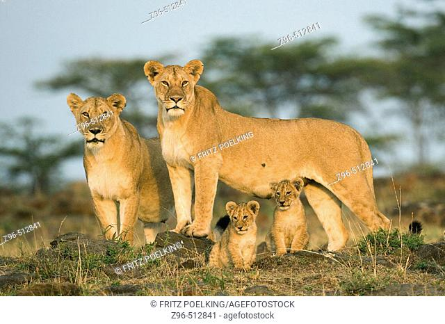 Lioness and cubs (Panthera leo). Masai Mara. Kenya