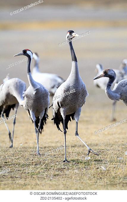 Eurasian / Common Crane (Grus grus) group on habitat. Gallocanta lagoon. Zaragoza province. Aragon. Spain