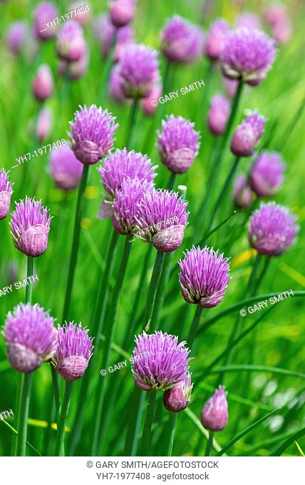 garden chives, Norfolk, England, June