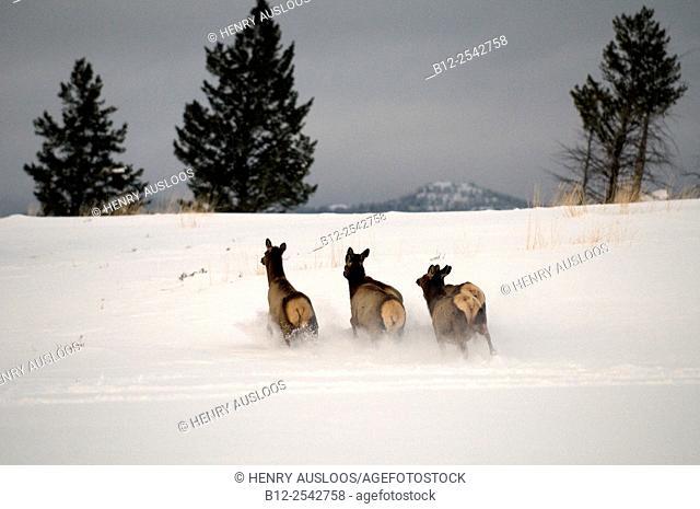 Elk, Wapiti Cervus canadensis, Running cows, Yellowstone, USA
