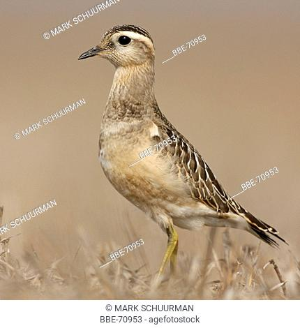 A young Eurasian Dotterel in a dry field