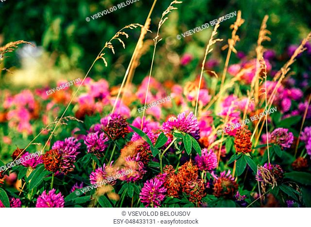 Meadow of Pink Clover Flowers on a Sunny Day. Selective Focus