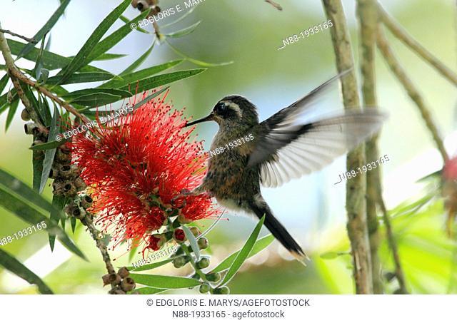 Speckled Hummingbird Venezuela