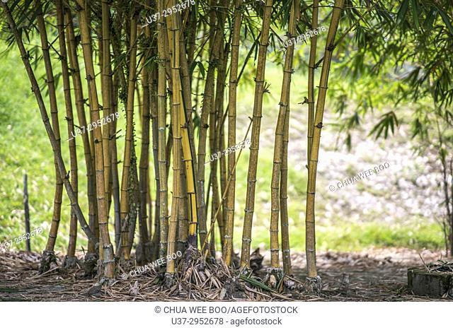 Yellow bamboos at Kuching Orchid Garden, Sarawak, Malaysia