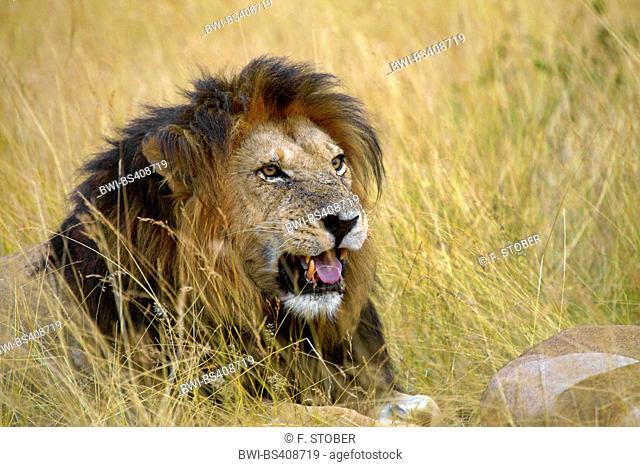 lion (Panthera leo), male lion lying exhausted on dried grass, Kenya, Masai Mara National Park