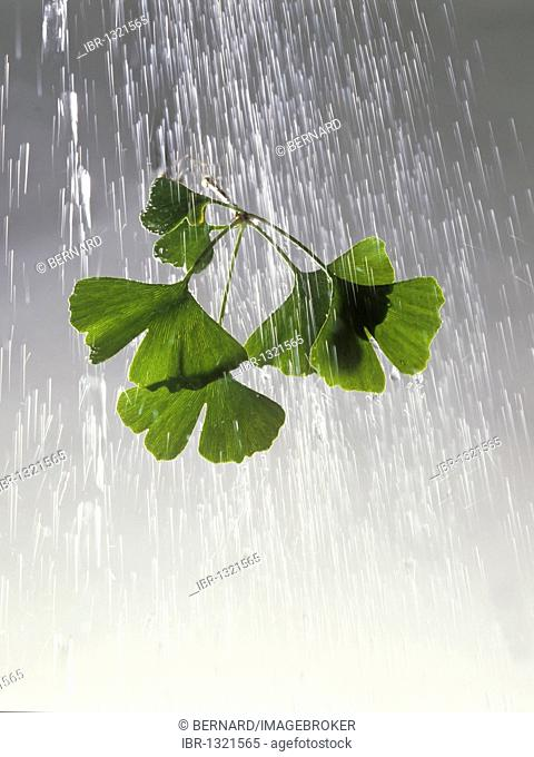 Branch with leaves of a Ginkgo (Ginkgo biloba) under a downpour of rain