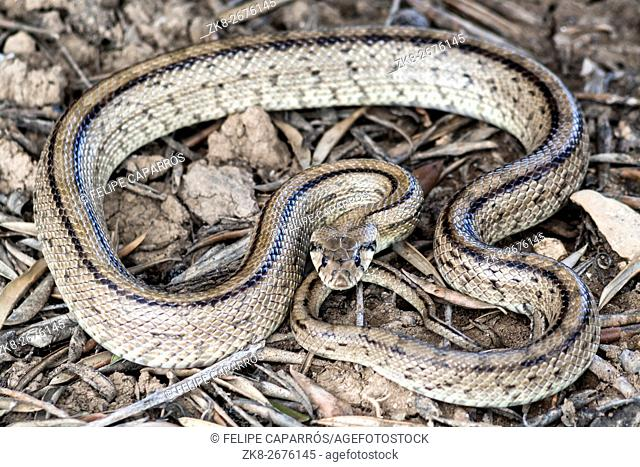 Rhinechis scalaris, called also Ladder snake, Spain