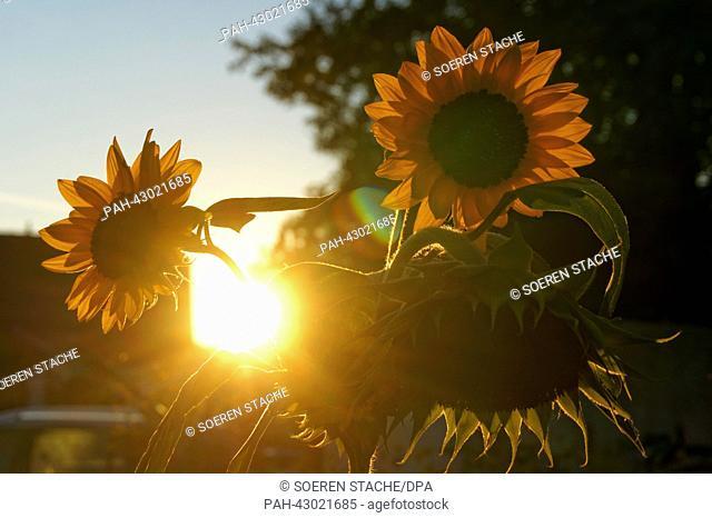 The sun sets behind sunflowers in Oranienburg, Germany, 29September 2013. Photo:Soeren Stache | usage worldwide. - Oranienburg/Brandenburg/Germany