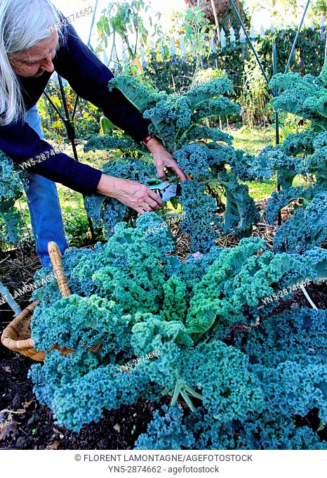 Picking of Kale's cabbage in autumn in vegetable garden
