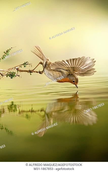 European Robin male Erithacus rubecula pond reflex, Alicante, Spain,Europe