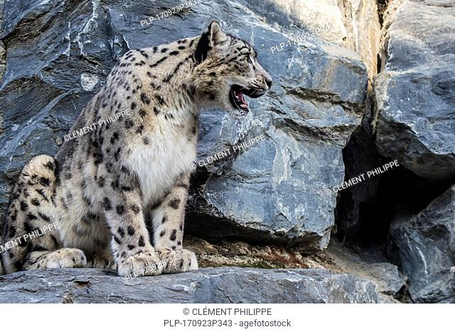 Snow leopard / ounce (Panthera uncia / Uncia uncia) looking for prey from rock ledge in cliff face, native to the mountain ranges of Asia