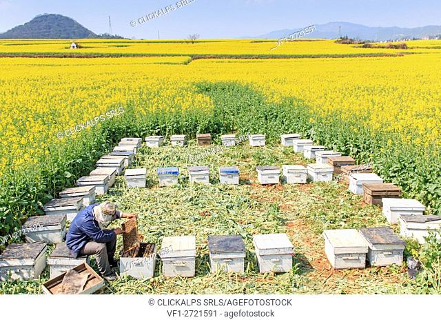 Beekeeper working among the rapeseed flowers fields of Luoping in Yunnan China. Luoping is famous for the Rapeseed flowers that bloom on early spring