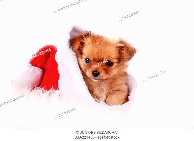 Chihuahua. Puppy (female, 10 weeks old) in a Santa Claus hat. Studio picture against a white background