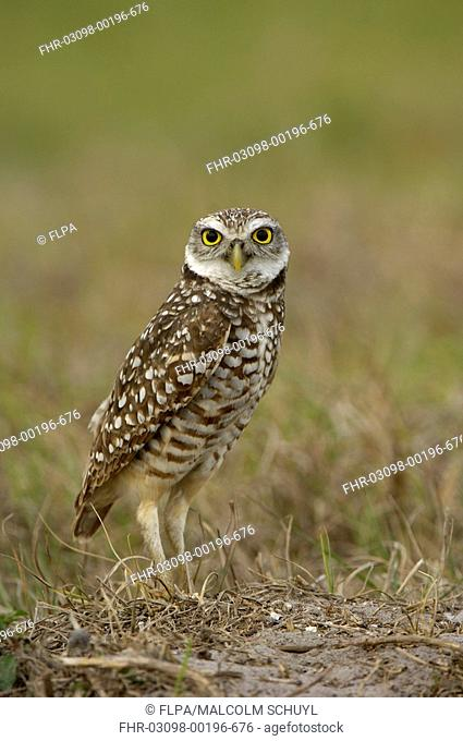 Burrowing Owl Speotyto cunicularia adult, standing on ground, Florida, U S A