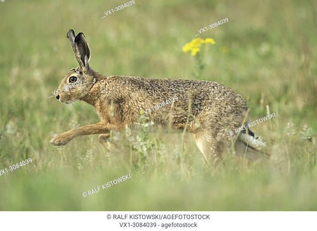 Brown Hare / European Hare ( Lepus europaeus ) running through flowering meadow, wildlife, Europe