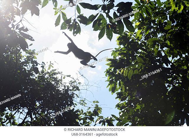 Thailand, Surat Thani, Khao Sok National Park, gibbon monkey