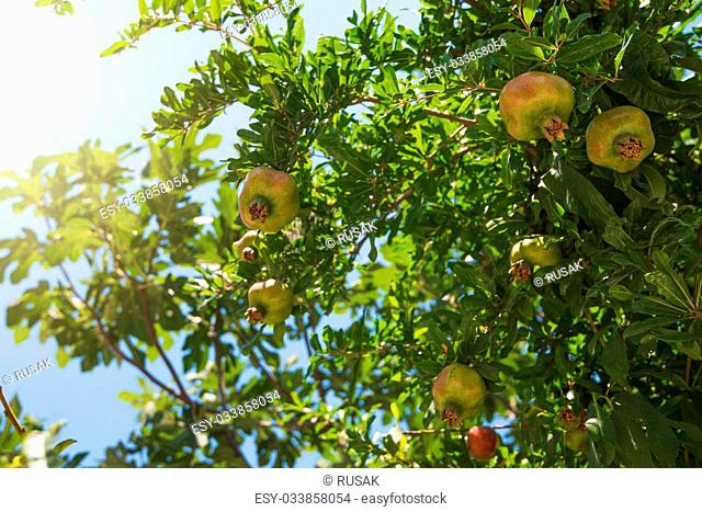 Green pomegranate on tree in a garden