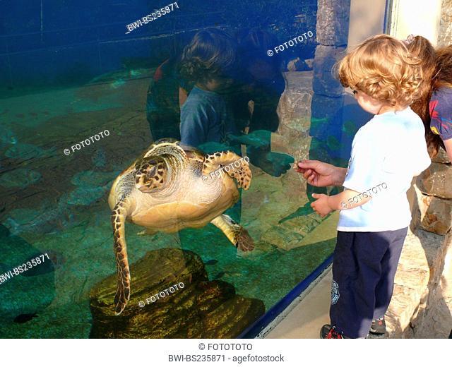 loggerhead sea turtle, loggerhead Caretta caretta, mother and child looking at an animal swimming by at the pane of an outdoor aquarium, Spain