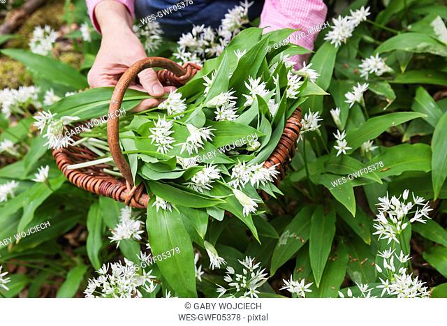 Germany, North Rhine-Westphalia, Eifel, wild garlic, Allium Ursinum, in wicker basket