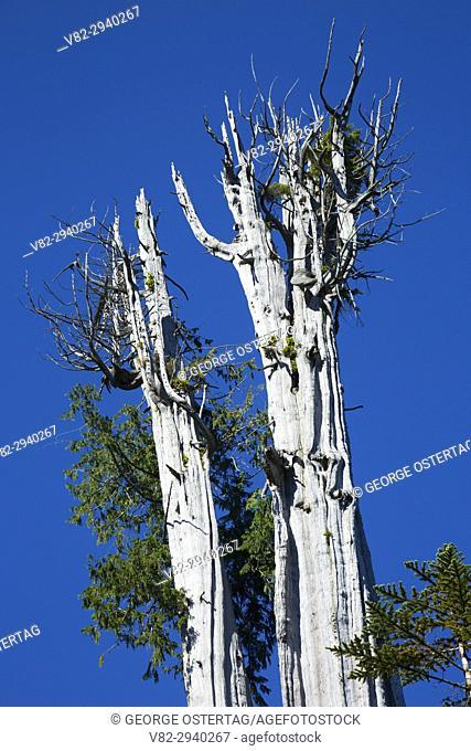 Duncan Cedar (World's largest red cedar), Olympic Peninsula State Trust Lands Forests, Washington