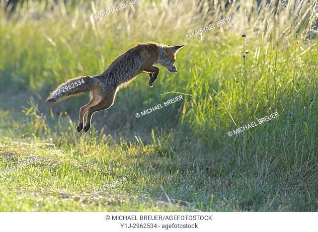 Jumping red fox (Vulpes vulpes) on mowed meadow, Hesse, Germany, Europe