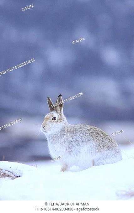 Mountain Hare Lepus timidus adult, white winter coat, sitting on snow covered hillside, Highlands, Scotland, february