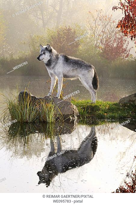Backlit Gray Wolf standing on rock over still water at dawn with mist and Fall colors