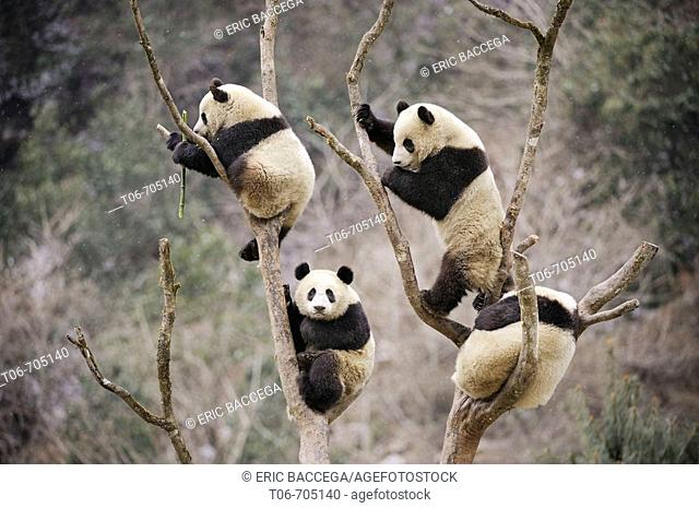 Four subadult giant pandas climbing in a tree (Ailuropoda melanoleuca) Wolong Nature Reserve, China