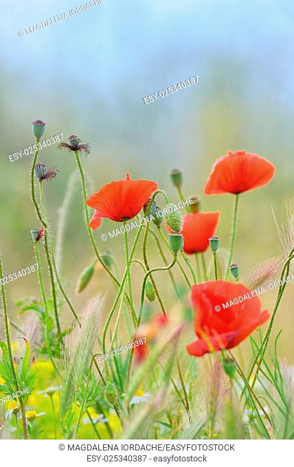 Field of bright red corn poppy flowers