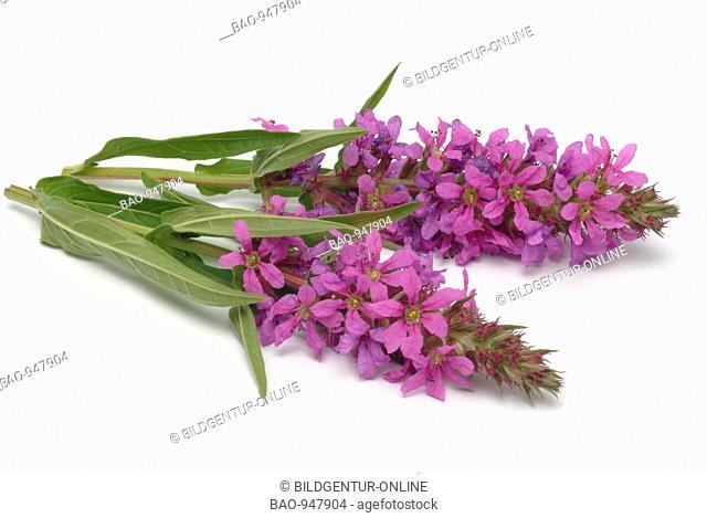 Medicinal plant Blutweiderich, purple Loosestrife, Loosestrife, Lythrum salicaria