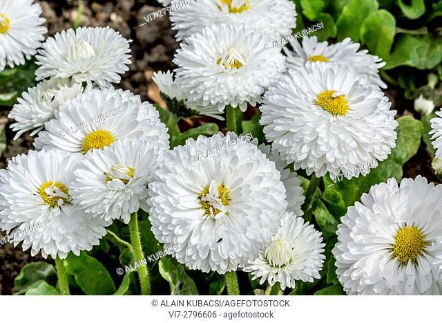Roggli White English Daisy /Bellis perennis 'Roggli White'