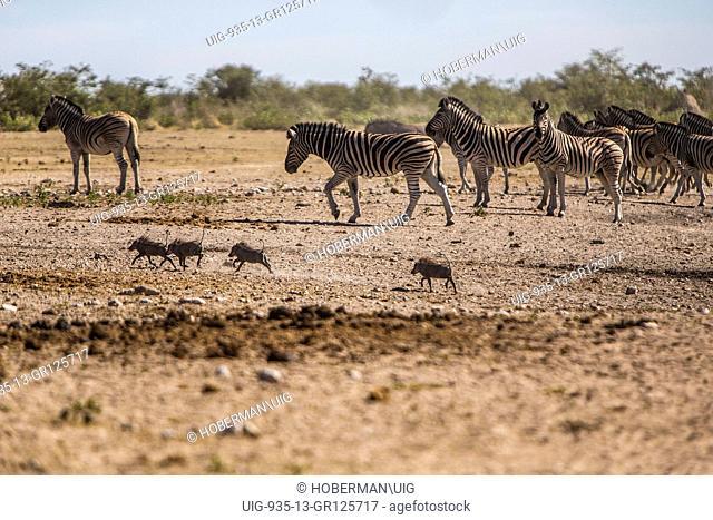 Small Warthog Family Sharing At A Waterhole In Etosha National Park