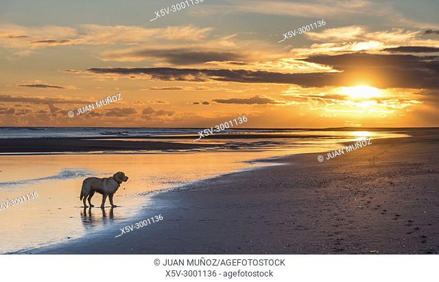Golden Retriever on the beach during the sunset, Ayamonte, Huelva, Spain