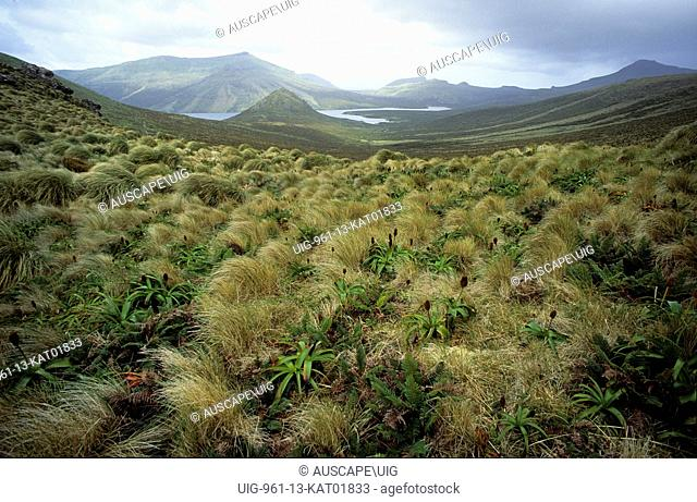 View across tussock grasslands, Poa sp,, to Perseverance Harbour, Campbell Island, Campbell Island group, New Zealand